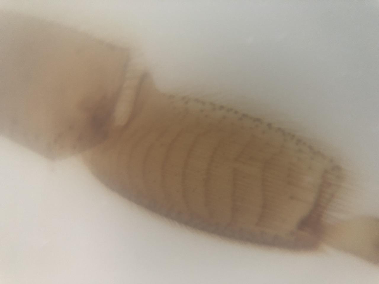 Particolare zampa ape con lenti Blips Ultra